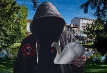Cygnes du square d'Aurillac disparus : les ravisseurs demandent l'arrêt des 80 km/h
